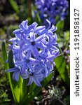 soft focus image of hyacinth...   Shutterstock . vector #1191858127