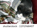 a gray cat with a white snout... | Shutterstock . vector #1191968407