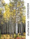 a grove of aspen trees  its... | Shutterstock . vector #1192042204