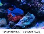 redtooth triggerfish or niger... | Shutterstock . vector #1192057621