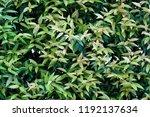 green leaf background   Shutterstock . vector #1192137634