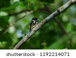 black and yellow broadbills... | Shutterstock . vector #1192214071