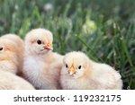 Little Buff Orpington Chicks...