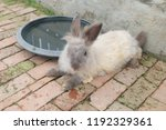 rabbit female in thailand. | Shutterstock . vector #1192329361