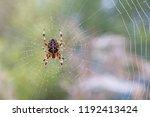 Araneus Diadematus   European...