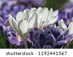 white and violet crocuses with... | Shutterstock . vector #1192441567