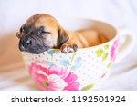 cute teacup puppy | Shutterstock . vector #1192501924