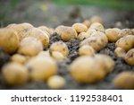 freshly dug early  baby... | Shutterstock . vector #1192538401