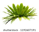 fern governor plant isolated on ... | Shutterstock . vector #1192607191