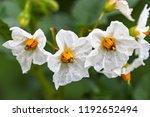 Closeup White Flowers Of Potato....