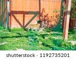 leopard in zoo. life in custody. | Shutterstock . vector #1192735201