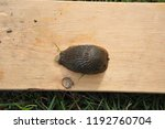 garden slug on a board in... | Shutterstock . vector #1192760704