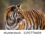 tiger portrait. tiger in wild... | Shutterstock . vector #1192776604