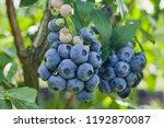 blueberries   vaccinium... | Shutterstock . vector #1192870087