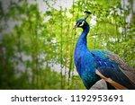 peacock bird in nature wild... | Shutterstock . vector #1192953691