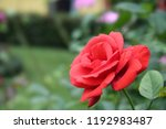red rose morning sun light... | Shutterstock . vector #1192983487