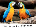 Couple Blue And Yellow Macaws ...