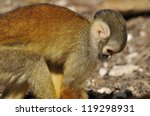 Small photo of Squirrel monkeys live in the tropical forests of Central and South America in the canopy layer. Most species have parapatric or allopatric ranges in the Amazon.