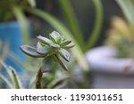 succulent plants in patio... | Shutterstock . vector #1193011651