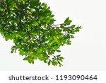 golden green leaves and... | Shutterstock . vector #1193090464