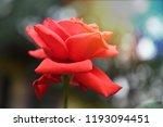 red rose morning sun light... | Shutterstock . vector #1193094451