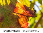 autumn and grape harvest  red... | Shutterstock . vector #1193105917