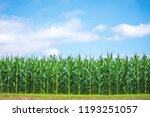 Image Of Corn Field And Cloudy...