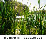 Overgrown Reeds On The Shore Of ...