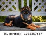 bohemian shepherd puppy... | Shutterstock . vector #1193367667