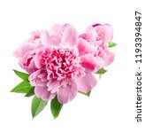 Pink Peonies Isolated On White
