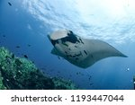 manta ray at hin daeng | Shutterstock . vector #1193447044