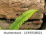 fern is beautiful in garden  | Shutterstock . vector #1193518021