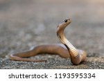 Small photo of Siamese Spitting Cobra: is a venom spitting snake and this one is still a baby and yet it was aggressively spitting as it was found.