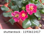 strawberry plant with purple  ... | Shutterstock . vector #1193611417