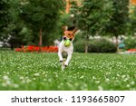 Stock photo dog russell terrier with a ball on the lawn 1193665807