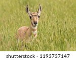 Pronghorn Fawn In Tall Crested...