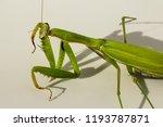a female mantis. predatory... | Shutterstock . vector #1193787871
