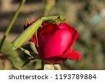 a female mantis. predatory... | Shutterstock . vector #1193789884