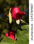 a female mantis. predatory... | Shutterstock . vector #1193789887