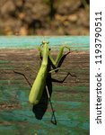 a female mantis. predatory... | Shutterstock . vector #1193790511