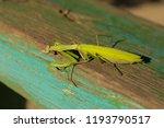 a female mantis. predatory... | Shutterstock . vector #1193790517