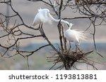 egret heron  waterfowl  flying... | Shutterstock . vector #1193813881