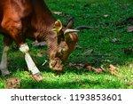 red cow wildlife rare. wildlife ... | Shutterstock . vector #1193853601