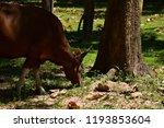 red cow wildlife rare. wildlife ... | Shutterstock . vector #1193853604