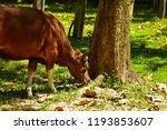 red cow wildlife rare. wildlife ... | Shutterstock . vector #1193853607
