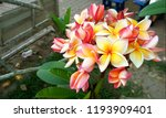 the beatiful plumeria flowers ... | Shutterstock . vector #1193909401