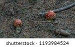 amanita muscaria mushroom in... | Shutterstock . vector #1193984524