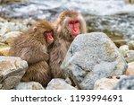 snow monkeys in a natural onsen ... | Shutterstock . vector #1193994691