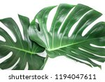 real live monster leaves on a... | Shutterstock . vector #1194047611