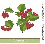 colored crataegus in hand drawn ... | Shutterstock .eps vector #1194060244